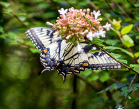 Eastern Tiger Swallowtail Ventral