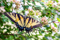 Eastern Tiger Swallowtail Dorsal
